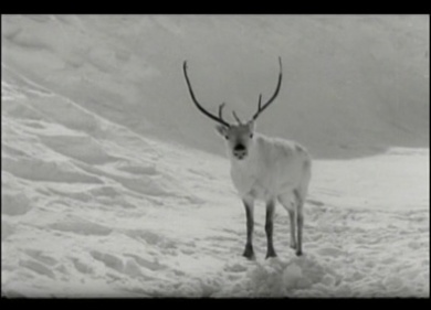 The White Reindeer_1