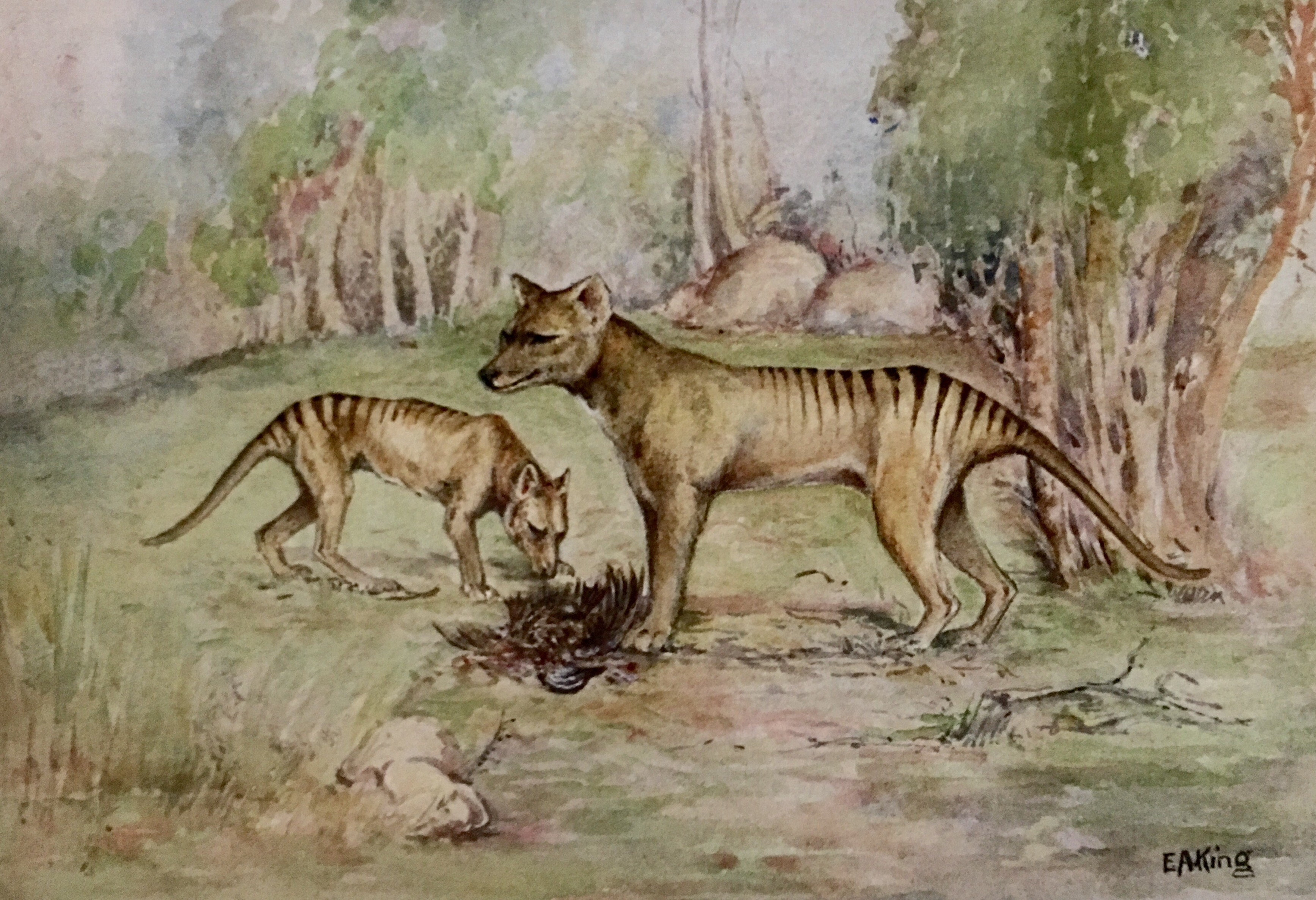 Tasmanian Tiger Museum Of Natural History